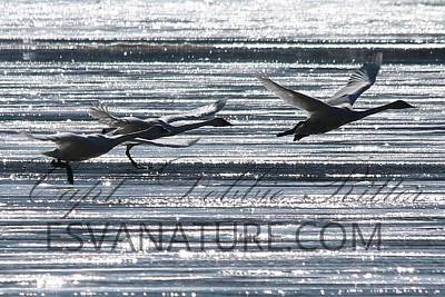 Photograph - Crystal Swans 8702 by Captain Debbie Ritter