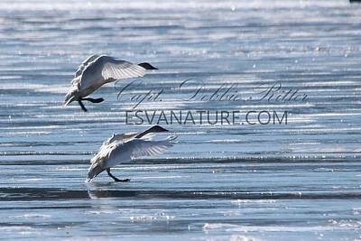 Photograph - Crystal Swans 8715 by Captain Debbie Ritter