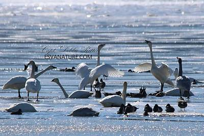 Photograph - Crystal Swans 8984 by Captain Debbie Ritter