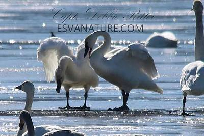 Photograph - Crystal Swans 9107 by Captain Debbie Ritter