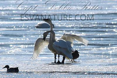 Photograph - Crystal Swans 9204 by Captain Debbie Ritter