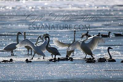 Photograph - Crystal Swans 9243 by Captain Debbie Ritter
