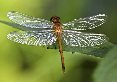 Macro Dragonfly Photograph - Crystal Wings by Evelina Kremsdorf