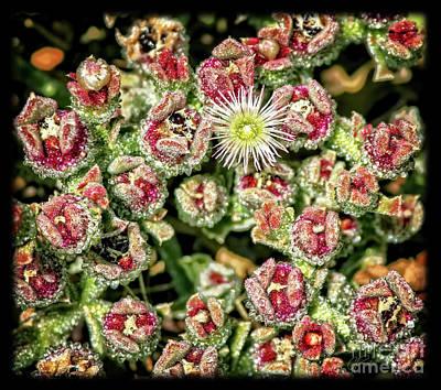 Photograph - Crystalline Ice Plant by Gabriele Pomykaj