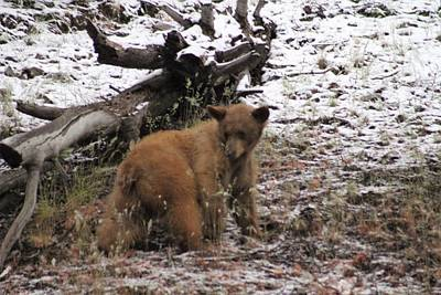 Photograph - Cub In The Snow by Diana Chase