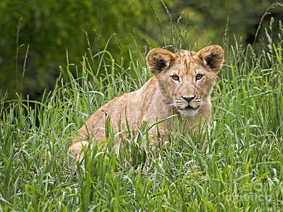 Photograph - Cub Spotted by Sonya Lang