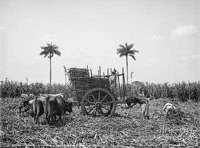 Photograph - Cuba: Sugar Plantation by Granger