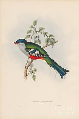 Painting - Cuba Trogon by Celestial Images