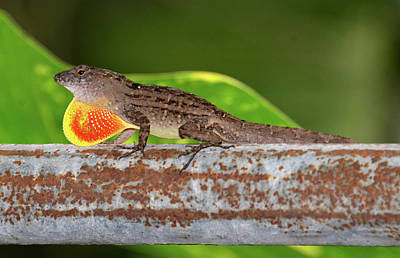 Photograph - Cuban Brown Anole by David Lee Thompson