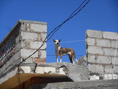 Photograph - Cuban Dog King Of The Barrio by Donna Starr