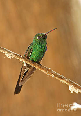 Cuban Emerald Hummingbird Art Print