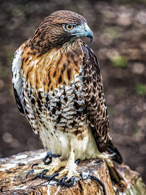 Photograph - Cuban Hawk by Robin Zygelman