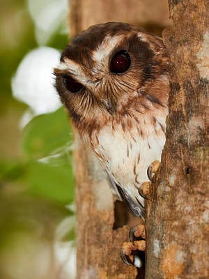 Photograph - Cuban Screech Owl by David Beebe