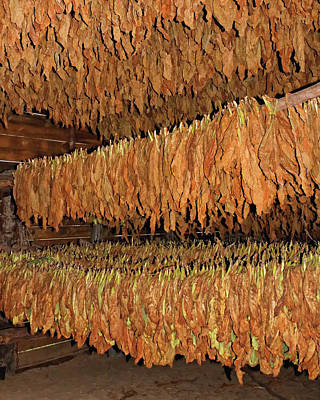 Photograph - Cuban Tobacco by Dawn Currie