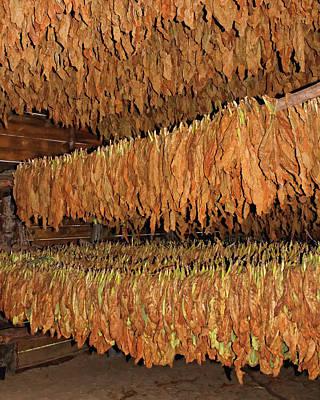 Photograph - Cuban Tobacco by Dawn Currie