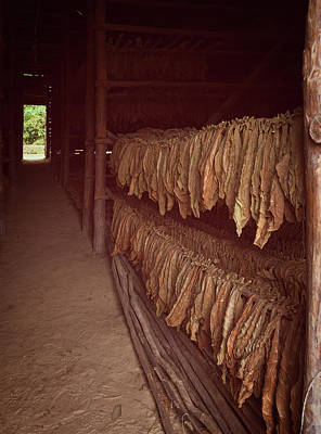 Animal Paintings David Stribbling - Cuban Tobacco Shed by Joan Carroll