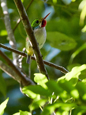Photograph - Cuban Tody by David Beebe