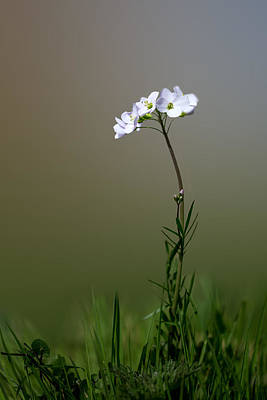 Cuckoo Flower Print by Ian Hufton