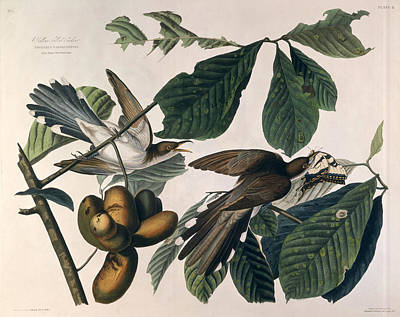 Cuckoo Drawing - Cuckoo by John James Audubon