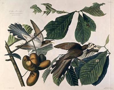 Cuckoo Wall Art - Drawing - Cuckoo by John James Audubon