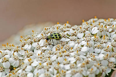 Cucumber Beetle Photograph - Cucumber Beetle by Jay Billings