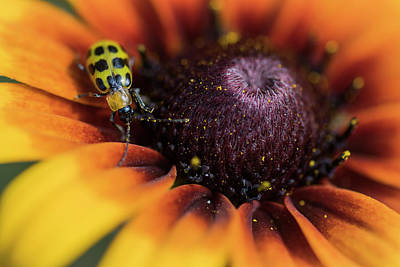 Photograph - Cucumber Beetle by Robert Potts