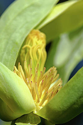 Photograph - Cucumber Magnolia Bloom by Debbie Oppermann
