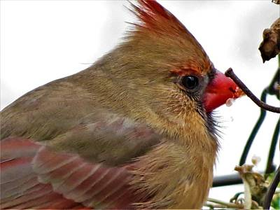 Photograph - Cuddle Cardinal by Vijay Sharon Govender