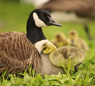 Baby Geese Wall Art - Photograph - Cuddles by Vicki Jauron