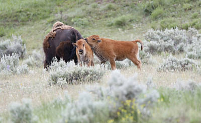 Photograph - Cuddling Baby Bison by Dan Sproul