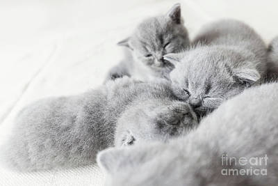 Photograph - Cuddling Cats Laying Together. British Shorthair. by Michal Bednarek