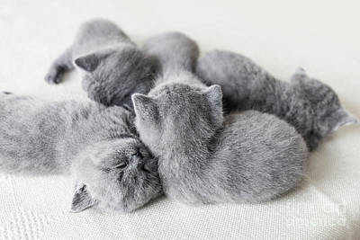 Photograph - Cuddling Little Pussycats. British Shorthair. by Michal Bednarek