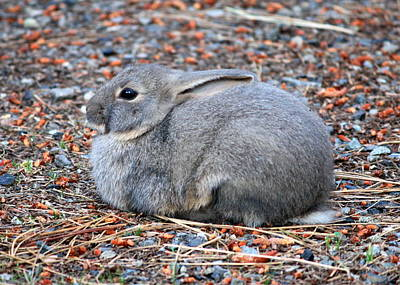 Abstract Animalia Royalty Free Images - Cuddly Campground Bunny Royalty-Free Image by Carol Groenen