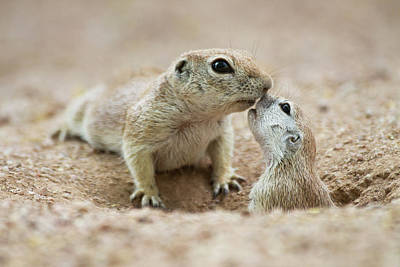 Round-tailed Ground Squirrel Photograph - Cuddly Squirrel Kisses by Ruth Jolly