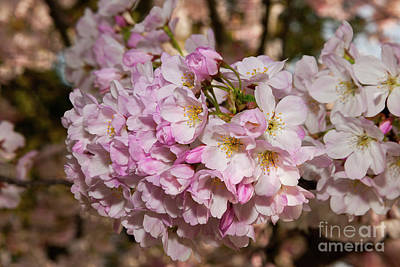 Photograph - Cupertino Cherry Blossoms 1 by Glenn Franco Simmons