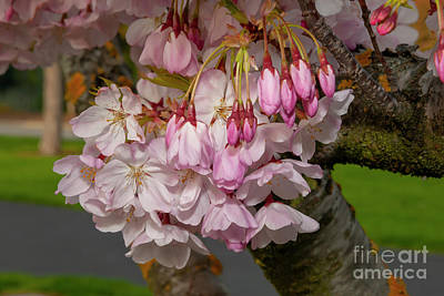 Photograph - Cupertino Cherry Blossoms 2 by Glenn Franco Simmons