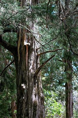 Photograph - Cupressus Macrocarpa by Jenny Rainbow