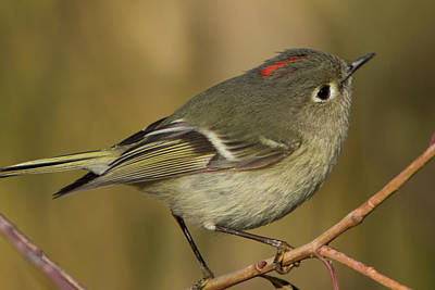 Ruby-crowned Kinglet Birds Photograph - Curios Kinglet by Jurgen Lorenzen