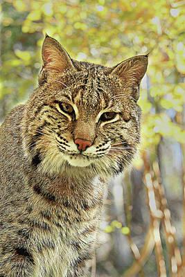 Photograph - Curiosity The Bobcat by Jessica Brawley