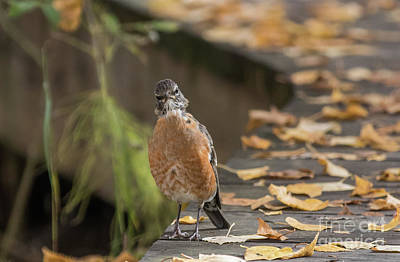 Photograph - Curious American Robin by Eva Lechner
