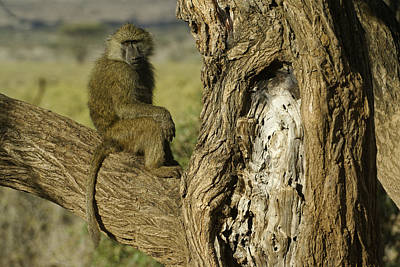 Photograph - Curious Baboon by Michele Burgess