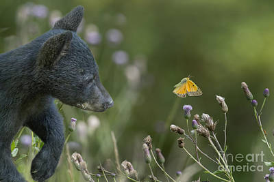 Photograph - Curious Baby Black Bear Cub Checking Out Moth by Dan Friend