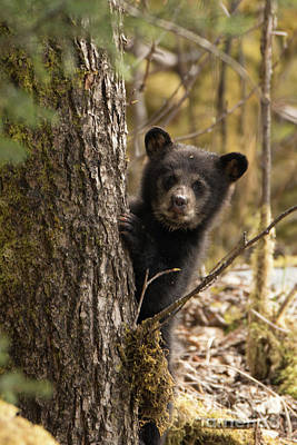Photograph - Curious Baby Black Bear Juneau by Loriannah Hespe