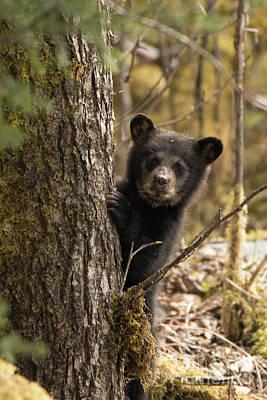 Photograph - Curious Baby Black Bear Juneau by Loriannah Hespe
