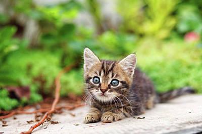 Gray Tabby Photograph - Curious Baby Cat by Serhii Kucher