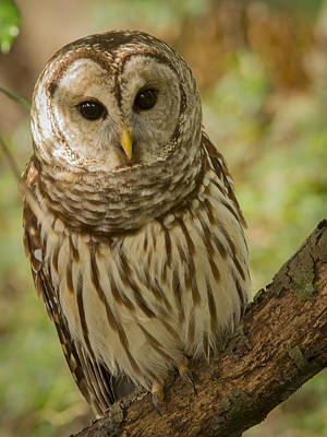 Photograph - Curious Barred Owl by Jean Noren