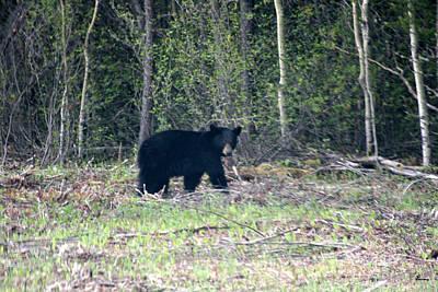 Curious Black Bear  Original