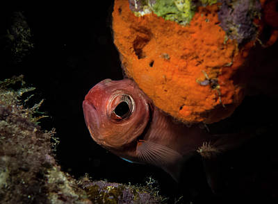 Photograph - Curious Blackbar Soldierfish by Jean Noren