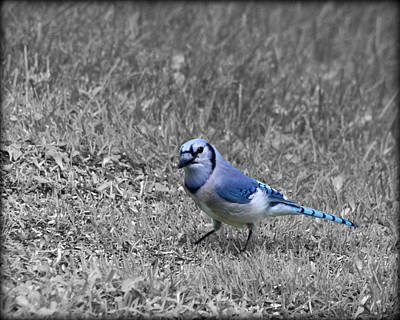 Photograph - Curious Blue Jay by Kathy M Krause