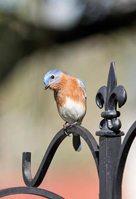 Photograph - Curious Bluebird by John Black
